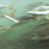In anteprima le immagini dei pesci in transito nel nuovo passaggio per pesci di Isola Serafini