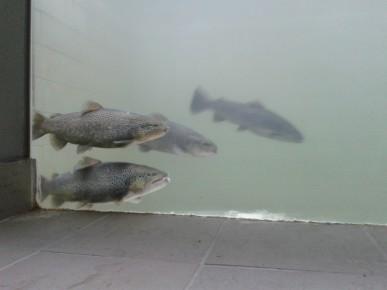 Video-monitoraggio delle migrazioni ittiche nei passaggi per pesci